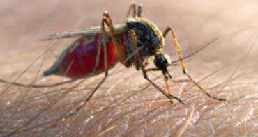 komar pełny krwi